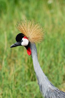 Free African Crowned Crane Stock Photo - 4247260