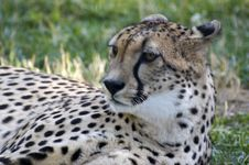 Free Cheetah Stock Photography - 4247532