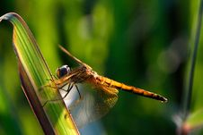 Free Dragonfly On The Leaf Royalty Free Stock Images - 4247599