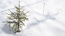 Free To Small Fur-tree In Coldly Winter. Stock Photography - 4247672