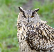Free Eagle Owl Royalty Free Stock Photos - 4247918