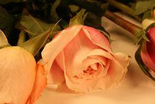 Baby Pink Rose Stock Photo