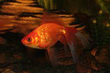 Free Gold Fish In Aquarium Stock Photo - 4248710