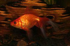Free Gold Fish In Aquarium Royalty Free Stock Images - 4248749