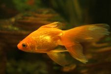 Free Gold Fish In Aquarium Royalty Free Stock Photography - 4248767