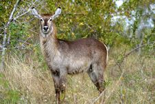 Free Proud Waterbuck Stock Images - 4249394