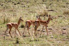 Free Baby Impala Stock Image - 4249711