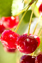 Free Cherries On A Branch Stock Images - 42476674