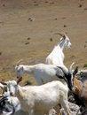 Free Goats Royalty Free Stock Image - 4257746