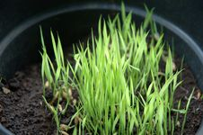 Free Rice Seed Stock Photos - 4250993