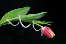 Free Tulip Twirl Royalty Free Stock Image - 4250996