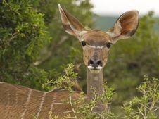 Free Kudu Cow Portrait Stock Photography - 4251222