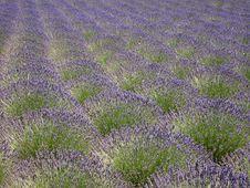 Free Lavender Field Stock Photos - 4251393