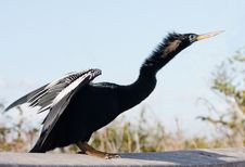 Anhinga Takeoff Royalty Free Stock Image