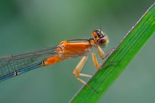 Free Damselfly Stock Photos - 4251963
