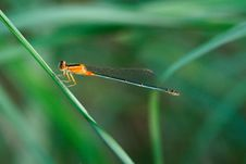 Free A Damselfly Stock Images - 4252034