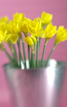 Free Yellow Daffodils Royalty Free Stock Images - 4252269