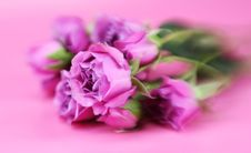 Free Soft Focus Roses Stock Photography - 4252312