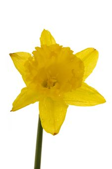 Free Yellow Daffodil Flowers Royalty Free Stock Image - 4252746