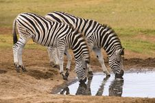 Free Zebra Pair Stock Images - 4253454