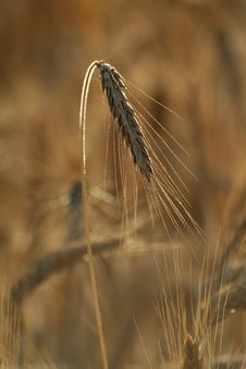 Free Field Of Wheat Stock Photo - 4253510