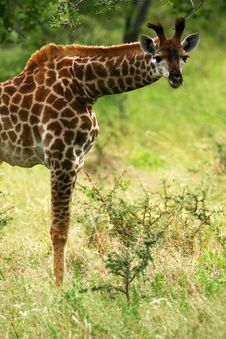 Free African Giraffes Stock Images - 4256144