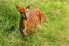 Free African Female Nyala Stock Photography - 4256212
