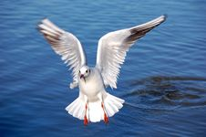 Free Sea Gull Royalty Free Stock Photos - 4256478