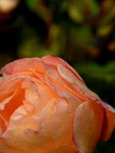 Free Drops Of Dew On A Rose. Royalty Free Stock Photo - 4256675