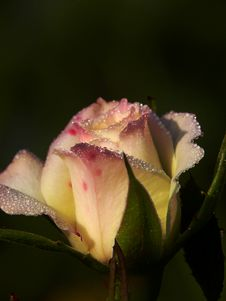 Free Drops Of Dew On A Rose. Stock Photos - 4256703
