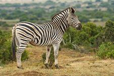Free Full Zebra Portrait Stock Image - 4257551