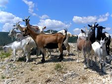 Free Goats Stock Photography - 4257702