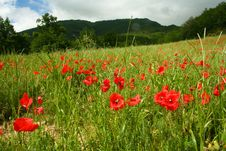 Free Apennine Poppy Slope Royalty Free Stock Photos - 4257788