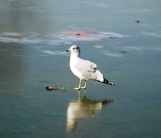 Free The Seagull On An Ice. Royalty Free Stock Photography - 4257917