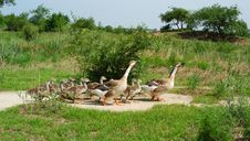 Free Wild Goose Family Stock Photography - 4258212