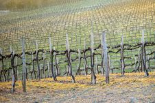 Free Vineyard - Chianti, Italy Royalty Free Stock Images - 4259379