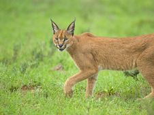 Free Caracal Stare Royalty Free Stock Photography - 4259627