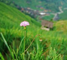 Free Flower In Terraced Field Royalty Free Stock Image - 4259996
