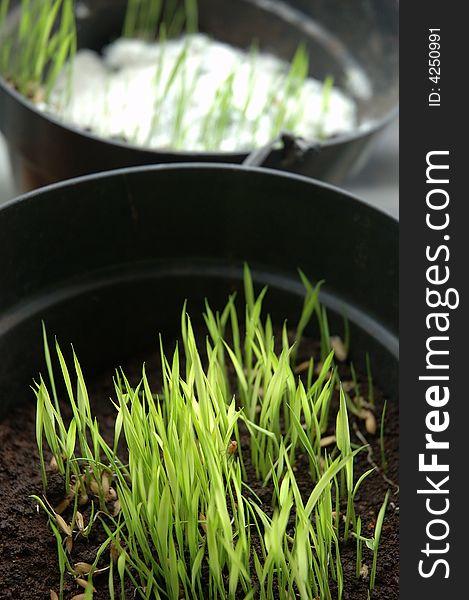 Rice seed