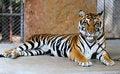 Free Beautiful Tiger Stock Photo - 42546240