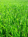 Free Field Of Green Wheat. Royalty Free Stock Image - 4265806