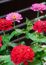 Free Pink Flower Standing Out From The Reds Royalty Free Stock Image - 4269516