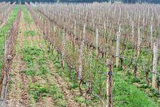 Free Vineyard At Autumn Royalty Free Stock Image - 4260596