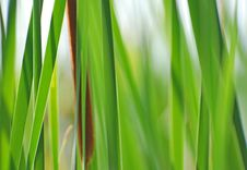 Free Reeds Background Royalty Free Stock Image - 4262366