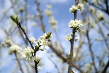 Free White Flowers Stock Photography - 4264482