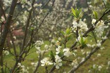Free White Flowers Royalty Free Stock Photos - 4264518