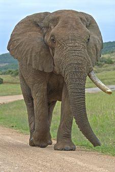 Free Addo Bull Elephant Stock Photography - 4264742
