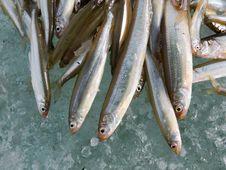 Free Fish On Ice 6 Stock Photos - 4265013