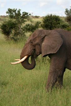 Free African Elephant Feeding Royalty Free Stock Photo - 4265045