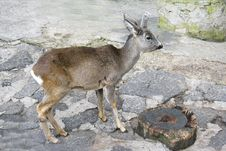 Free Young Deer In Zoo Stock Photography - 4265142